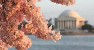 National Cherry Blossom Festival goes virtual | Weekend FAMILY Fun in DC