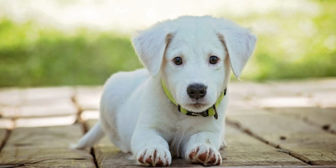 "Considering puppy adoption during coronavirus? Here's what you need to know about bringing home a ""pandemic puppy"""