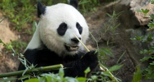 See the pandas when the Smithsonian National Zoo reopens this weekend with new social distancing guidelines