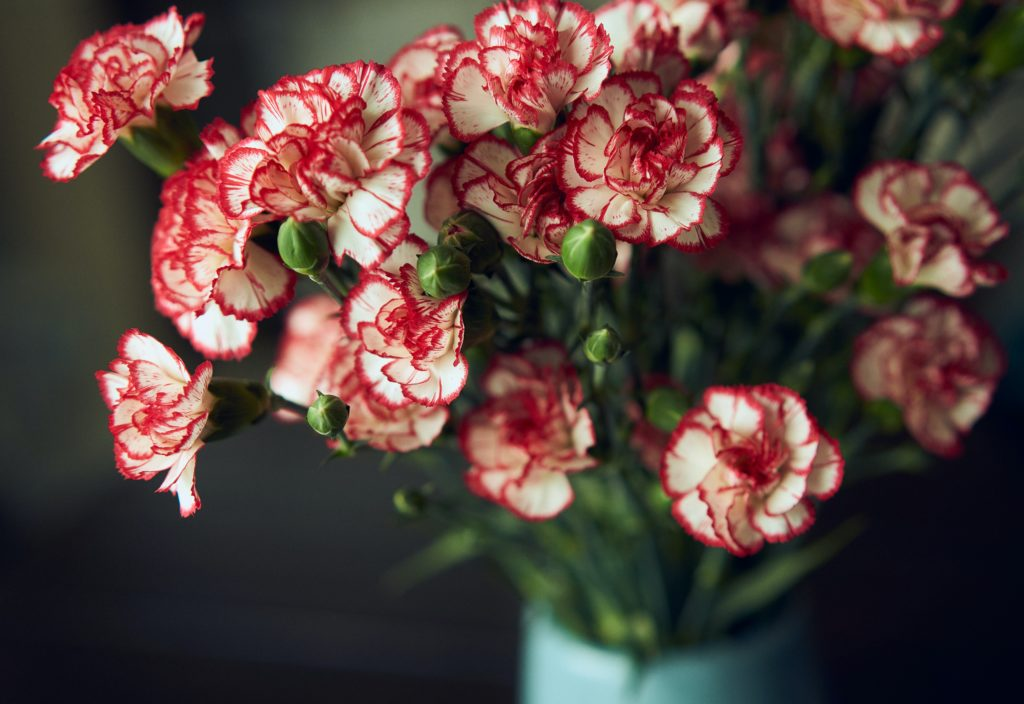 carnations official mother's day flower